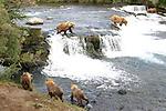 Alaska brown bears fishing at Brooks Falls in Katmai NP