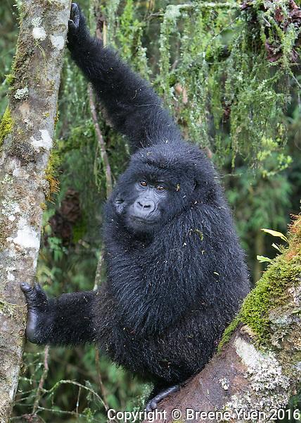 Gorilla Up A Tree2  Rwanda 2015