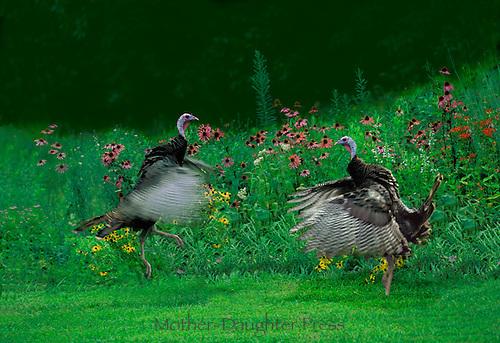 Two male turkeys flap and dance as mating season starts among native wildflowers, Missouri USA
