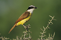 Great Kiskadee, Pitangus sulphuratus, adult, Starr County, Rio Grande Valley, Texas, USA, April 2002