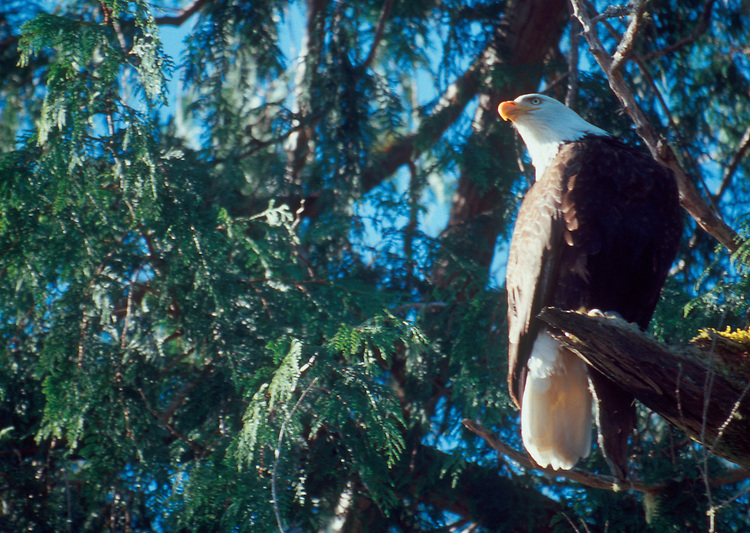 Bald Eagle, Halioeetus leucocephalus, evergreen tree perch, Tofino, British Columbia, Canada, Vancouver Island, west coast, North America,.