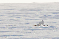 An arctic fox stands over a caribou kill on Alaska's north slope.
