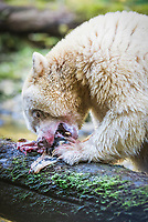 Kermode bear, or spirit bear, Ursus americanus kermodei, eating pink salmon, or humpback salmon, Oncorhynchus gorbuscha, a rare, leucistic subspecies of American black bear, Ursus americanus, white or cream color due to a double recessive gene unique in the subspecies, Great Bear Rainforest, scared site of the Gitga'at Bation, British Columbia, Canada