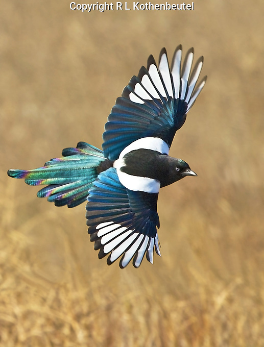 how to cook a magpie