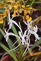 Orchid species Neofinetia falcata Samurai Orchid