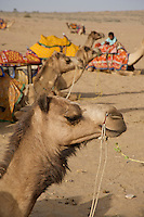 Camels and  Sandunes of Jaisalmer 100 KM from the Pakistan Border, in the Thar desert, Rajasthan India, .The Indian Desert is mainly inhabited by Hindus, Muslims, and Sikhs. The portion in Pakistan is inhabited by primarily by Sindhis and Kolhis. A colorful culture rich in tradition prevails in the desert. The people have a great passion for music and poetry