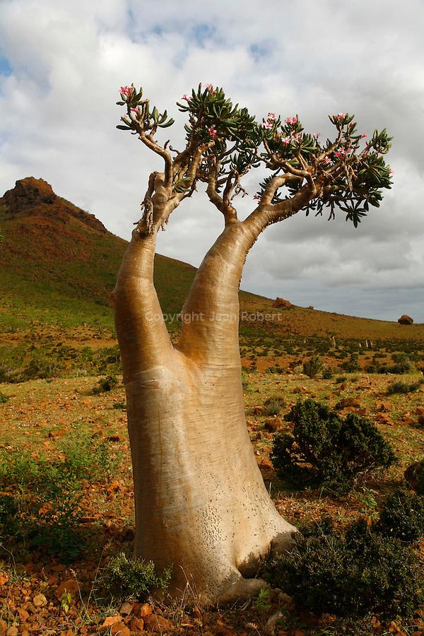 .Adenium socotranum near qalansiyah. Socotra island; Yemen