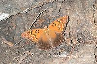 03469-00602 Tawny Emperor (Asterocampa clyton) Mississippi County, MO
