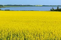 Canola and Lac St. Leon, Saint Leon, Manitoba, Canada