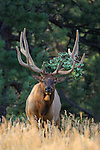 Rocky Mountain Bull Elk in Velvet