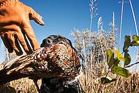 Jasper, a black Labrador retriever, brings a pheasant to hand.