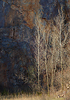 Aspen trees in late sunlight turn silver against a sahdows rock face in the Lower Narrows State Natural area iin the Baraboo Hills in Sauk County, Wisconsin