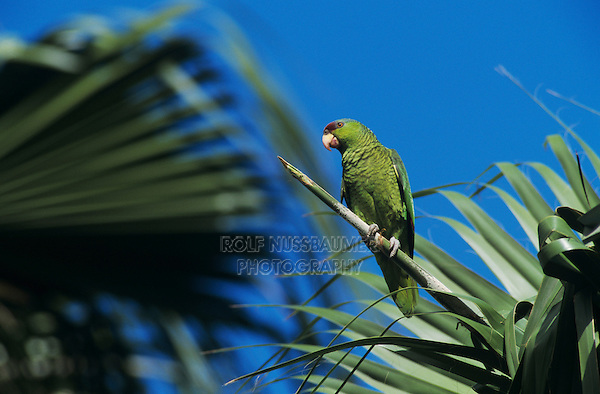 Red-crowned Parrot, Amazona viridigenalis, adult on palm tree, Brownsville, Rio Grande Valley, Texas, USA, April 2001
