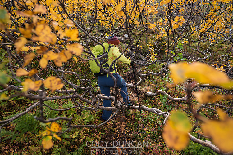 Female hiker finds passage through branches of autumn birch tree, Lofoten Islands, Norway