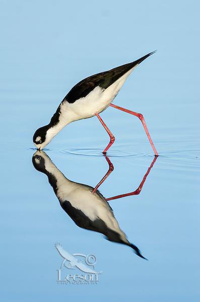 Black-necked Stilt (Himantopus mexicanus) feeding in shallow pond.  California.  Spring.