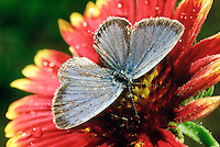 INSECTS<br /> Easter Tailed Blue Butterfly on a Gaillardia flower