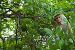 A juvenile male toque macaque watches from a tree. Archaeological reserve, Polonnaruwa, Sri Lanka. IUCN Red List Classification: Endangered