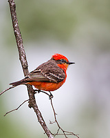 Male Vermilion flycatcher perched in tree