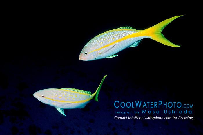 yellowtail snappers, Ocyurus chrysurus, Columbia, Cozumel, Mexico, Caribbean Sea