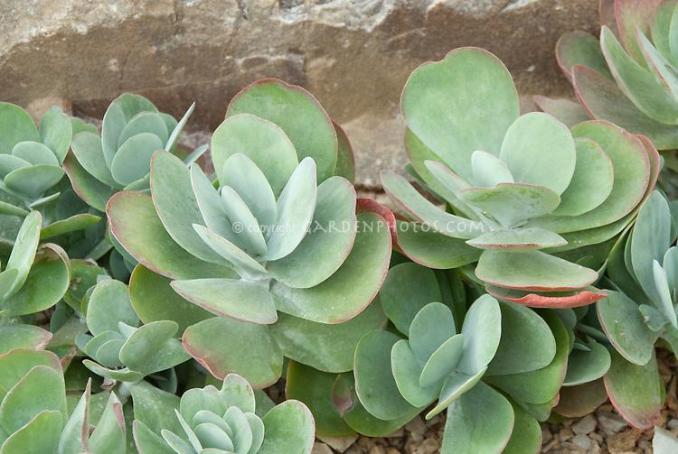 Succulent plant Kalanchoe thyrsiflora (Paddle Plant, Flapjacks, Desert Cabbage)