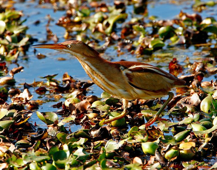 Least bittern adult female on floating vegetation