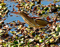 Least bittern adult female on floating vegetation