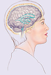 Illustration of woman with brain and ventricles from side