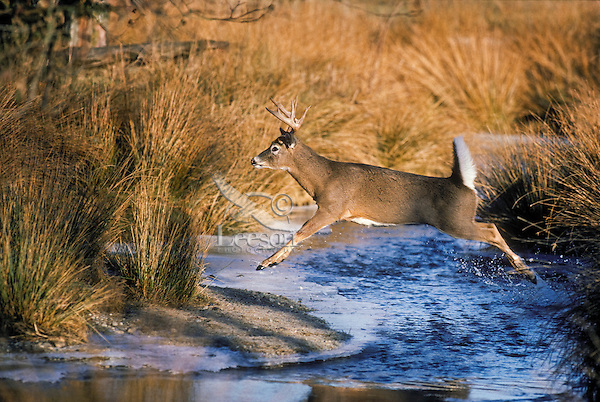 White-tailed deer (Odocoileus virginianus) buck flashes tail as he runs..Warning signal to other deer. Autumn. Canada.