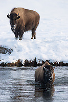 Bison are perhaps the most common winter subject in the park's northern range, but they still manage to provide me with new and interesting photo opportunities.