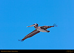 Brown Pelican in Flight, Ballona Creek, Southern California