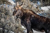 Moose in Winter in Teton National Park, Jackson Wyoming.