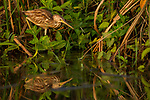 Yellow Bittern (Ixobrychus sinensis) sub-adult male foraging in wetland, Diyasaru Park, Colombo, Sri Lanka