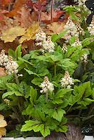 Tiarella 'Black Vevlet' in spring white flowers with 'Heuchera Ginger Ale' foliage plant . Foamflower