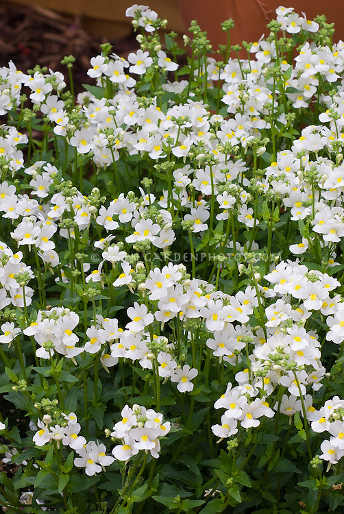 Nemesia fruticans 'Nesia White'  annual flowering plant