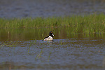 Drake Ring-necked Duck in spring