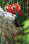 Macaws, disambiguation, new world parrots, psittacidae, genera, ara, anodorhynchus, cyanopsitta, primolius, orthopsittaca, diopsittaca, primolius, propyrrhura, Mexico, South America, Central America, Caribbean, rainforest, savanna habitats, Anodorhynchus, hyacinth macaw, parrots, Fine Art Photography, Ronald T. Bennett (c) Fine Art Photography by Ron Bennett, Fine Art, Fine Art photography, Art Photography, Copyright RonBennettPhotography.com ©