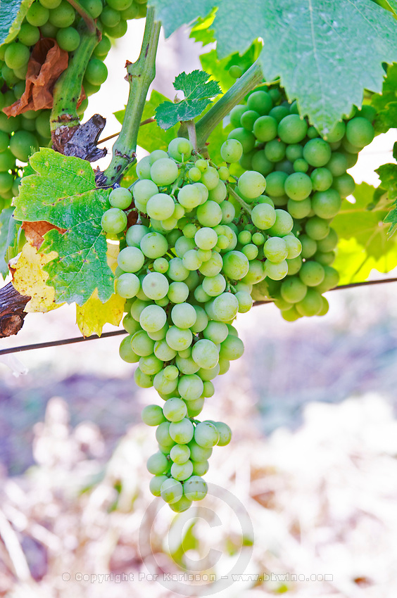 Grape bunch. Muscat grape variety. Kantina Miqesia or Medaur winery, Koplik. Albania, Balkan, Europe.
