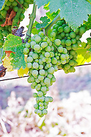 Grape bunch. Muscat grape variety. Kantina Miqesia or Medaur winery, Koplik. Albania, Balkan, Europe.