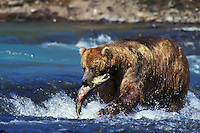 Coastal grizzly bear with salmon (Ursus arctos).