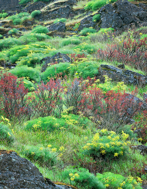 Pungent Desert Parsley (Lomatium grayi) and early red oak leaf growth. Columbia River Gorge National Scenic Area, Washington