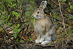 Snowshoe hare, Arctic National Wildlife Refuge, Alaska