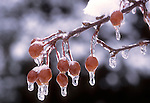 Ice Covered Crab Apples