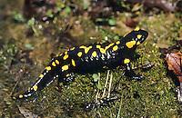 Feuersalamander, Feuer-Salamander, Salamander, Salamandra salamandra, European fire salamander