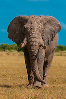 A muddy elephant, Nxai Pan National Park, Botswana. Elephants roll in mud to cool off and it is also for sun protection.
