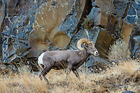 Bighorn Sheep Ram (Ovis canadensis).  North Central Oregon.  Fall.  These sheep were formerly known as California Bighorn, but are now classified with Rocky Mountain Bighorn.