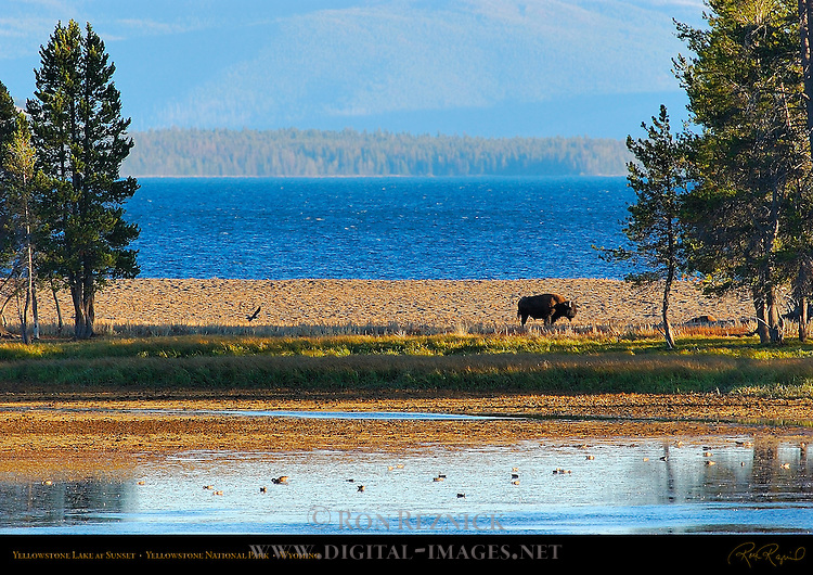 Bison at Sunset, Yellowstone Lake, Yellowstone National Park, Wyoming