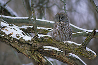 Great Gray Owl (Strix nebulosa) roosting. Ontario, Canada.