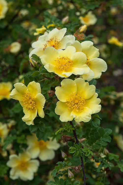 Rosa xanthina 'Canary Bird', mid May. A shrub rose with slightly scented, single, bright yellow flowers.