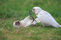 Long-billed Corella (Cacatua tenuirostris) play fighting in Rymill Park in Adelaide, South Australia.