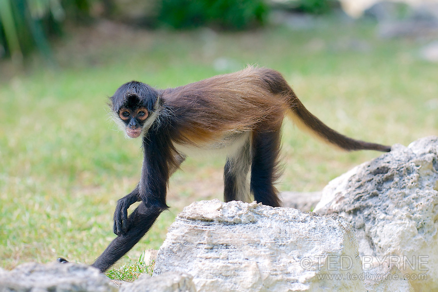 Spider monkey poses for camera